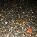 Baja California Chorus Frog