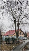 Photo: Fag (Fagus sylvatica) - de pe Str. rapsodiei, intre blocuri -  2017.02.07