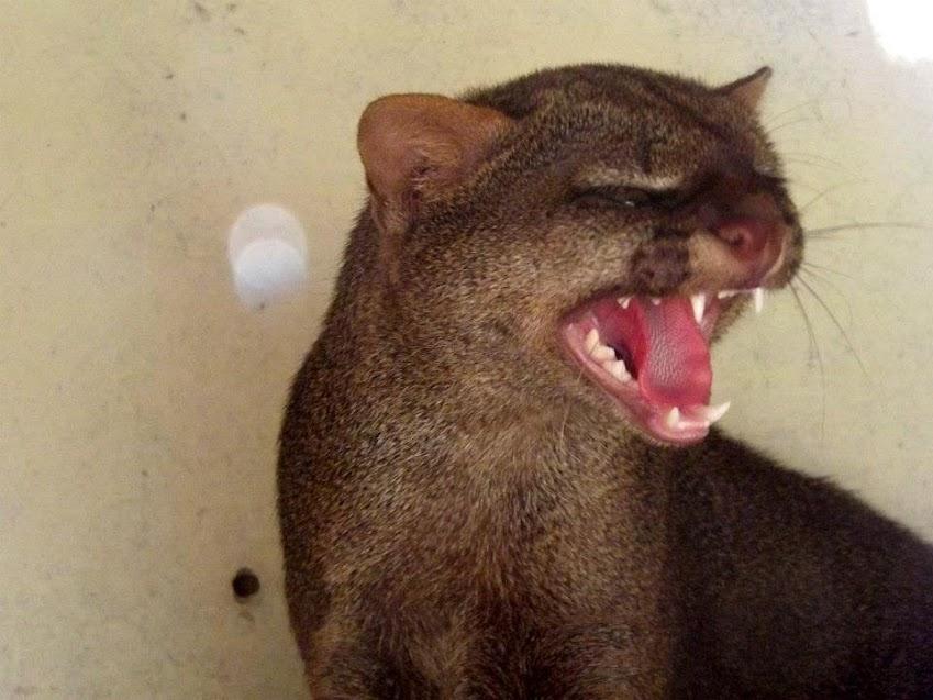 Jeune jaguarondi, Spaycific'zoo - Tous droits réservés