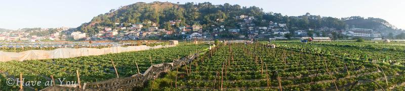Baguio strawberry fields