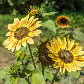 Sunflowers by Jerry Cahill - Flowers Flowers in the Wild