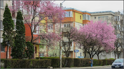 Photo: Corcodus ornamental rosu  (Prunus cerasifera Nigra) - de pe Calea Victoriei, Mr.2 - 2017.04.04