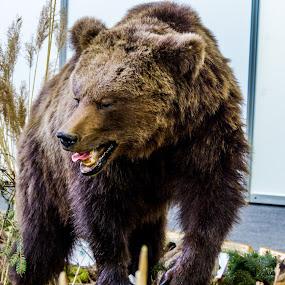 prepared bear by Alen Zita - Animals Other Mammals ( big, prepared, animal, bear, wild )
