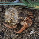 Cobito/ Hermit Crab