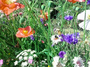 Photo: A bee amongst some wildflowers off the South Parade at Skegness.