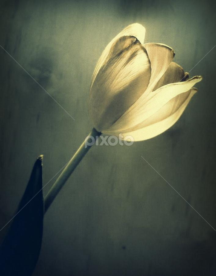 Inner Light by Dawn Vance - Nature Up Close Flowers - 2011-2013 ( flowerm tulip )