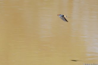 Photo: Greater Striped Swallow (Afrikaans: Grootstreepswael) at the bird hide at Stofdam in the Mokala National Park.
