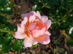 Photo: Seppenrade - ein Besuch im Rosengarten lohnt sich auf jeden Fall!
