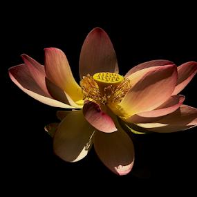 india by Noel Kapica - Flowers Single Flower