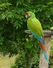 Photo: The General (Military Macaw), Rancho Primavera