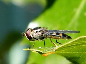 Photo: Le syrphe ceinturé ou syrphe à ceintures posé sur une feuille - 8 mm - Utilisé comme agent de lutte biologique contre les pucerons. En vol on les reconnait facilement : ils font du surplace comme les hélicoptères !