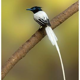 Asian paradise flycatcher male by Suraj Ramamurthy - Animals Birds ( #flycatcher, #himalayas, #nikon7100, #sattal, #birds, #nikkor500mm, #asianparadise )