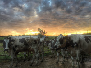 Photo: Cows just before sunrise.
