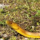 South Florida Yellow Rat Snake