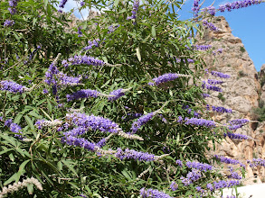 Photo: Vitex agnus-castus