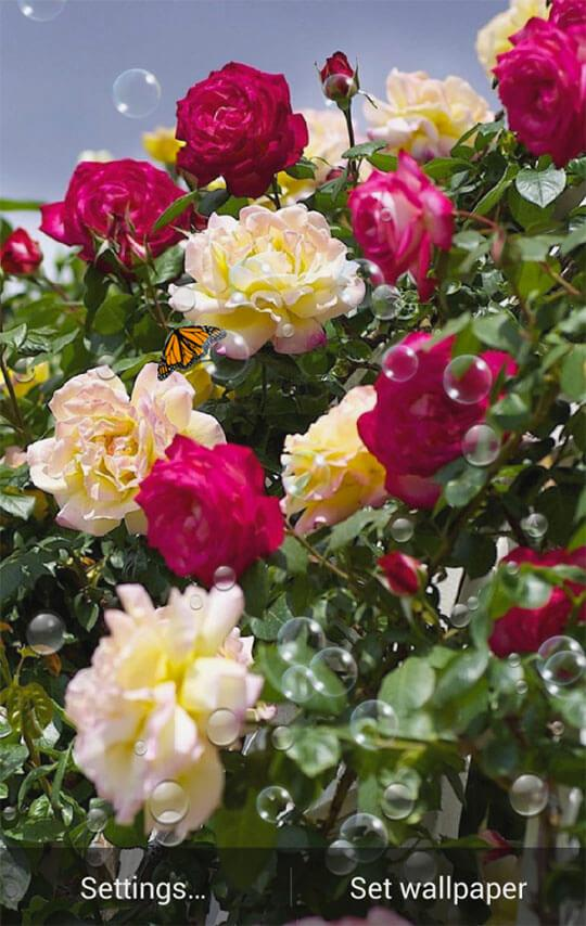 Pink Rose Garden Wallpaper roses garden wallpaper - android apps on google play