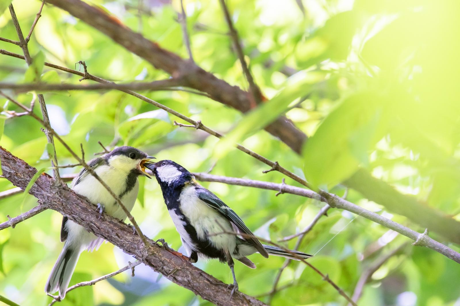 Photo: 「親から子へ」 / Passed on from parents to offspring.  疲れも忘れ 羽も痛み汚れても ただ純粋に愛情を運ぶ 親から子へ  Japanese Tit. (シジュウカラ)  Nikon D500 SIGMA 150-600mm F5-6.3 DG OS HSM Contemporary  #birdphotography #birds #kawaii #ことり #小鳥 #nikon #sigma  ( http://takafumiooshio.com/archives/2736 )