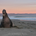 Northern Elephant Seal Beachmaster
