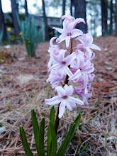 Photo: Pink Hyacinth