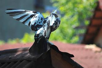 Photo: po drodze zaciekawiają nas gołębie-grubasy na dachu knajpki