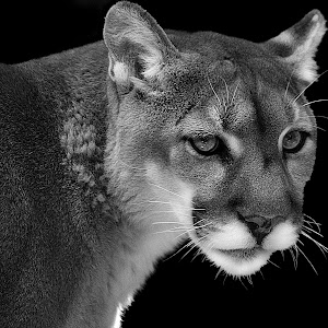 Cougar Portrait AA3 not so good bw.jpg