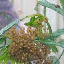 Orb weaver spider ( babies )