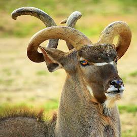 Tire-bouchon by Gérard CHATENET - Animals Other Mammals