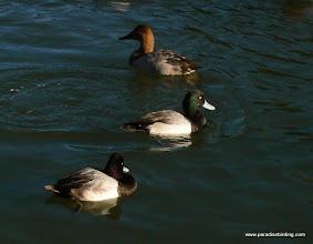 Photo: Lesser and Greater scaups with a female Canvasback at Lake Merritt.
