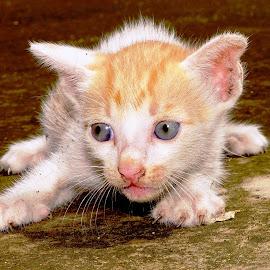 A cute kitten  by Mihir Ranjan - Animals - Cats Kittens ( kitten, cat, cute kiiten, a cute kitten baby cat, pussy, a new born cute kitten,  )