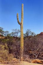 Photo: #027-Cactus dans le désert du Sonora