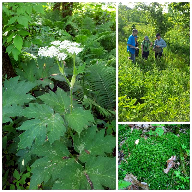 Cow parsnip, researchers, and moss at the BioBlitz