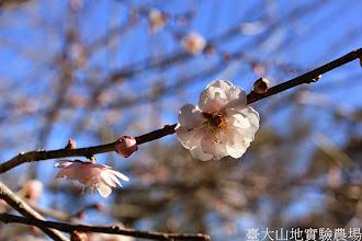 Photo: 拍攝地點: 梅峰-梅園 拍攝植物: 梅花 拍攝日期: 2015_01_15_FY