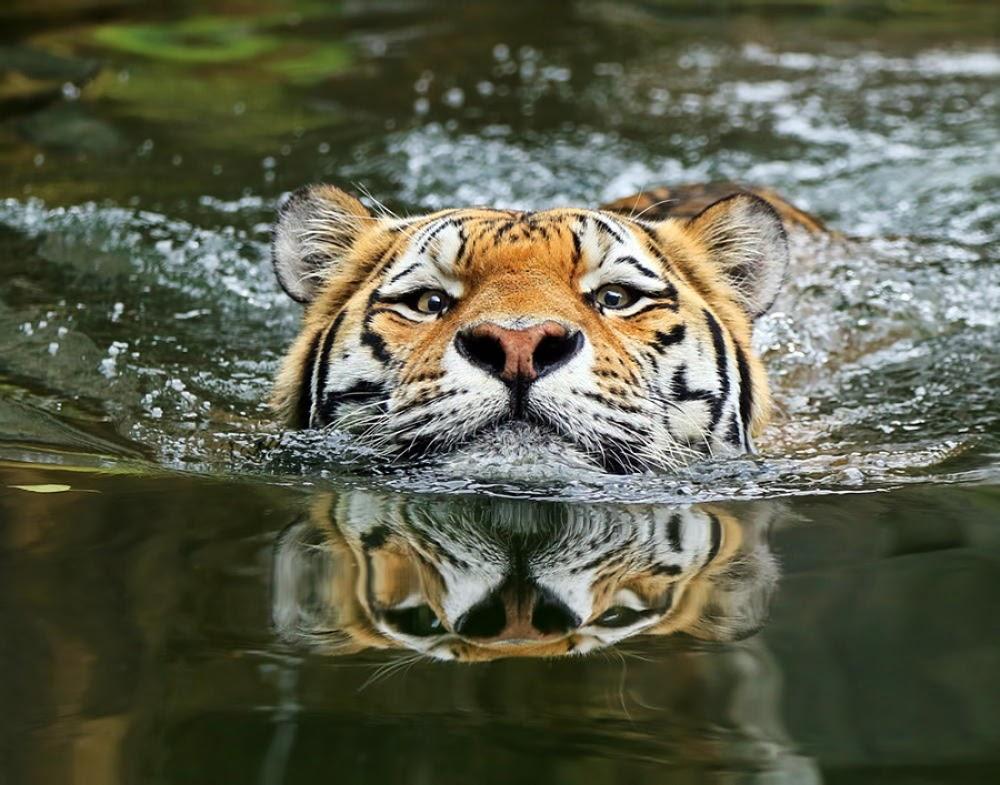 ATh1N3C9ySgpklGAXdYWzkDA WFRflH1ezQEBw FAu4=w1000 h785 no - Один день в тигровой майке