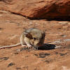 Wood Rat ( Desert Pack Rat)