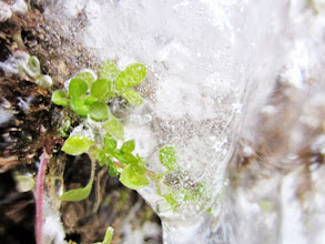Photo: Small green plants stuck in the ice at Cox Arboretum and Gardens in Dayton, Ohio.