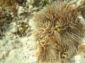 Photo: Amphiprion clarkii (Clarkii Clownfish) Heteractis crispa (Sebae Anemone), Panglao Island, Philippines