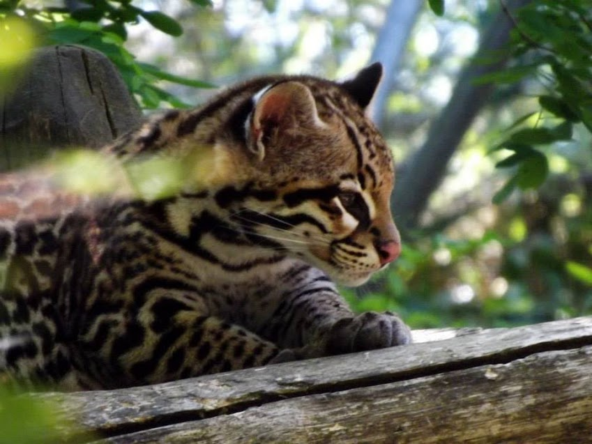 Jeune ocelot de 5 mois, Zoo de la Flèche - Tous droits réservés