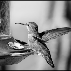 Anna Hummingbird by Dave Lipchen - Black & White Animals ( anna hummingbird )