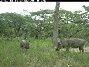 Photo: Young male warthogs; Jovem facocheros machos.