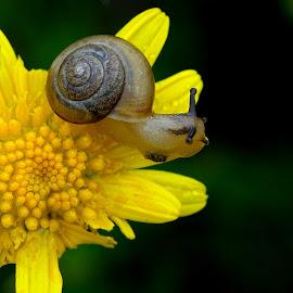 by Alvin Ngow - Animals Other ( outdoor, close up, macro, snails, garden snai, shell, yellow, garden, birdbotany, flower, wildlife,  )