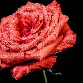 Orange Rose by Heather Campbell - Flowers Single Flower ( black background, rose, water drops, macro, orange flower, nature, single flower, orange rose, close up, flower,  )
