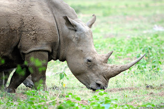 Photo: White Rhino, Marakele National Park, South Africa.