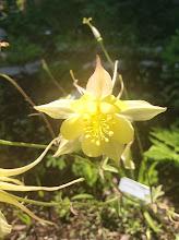 Photo: Columbine: Aquilegia spp.