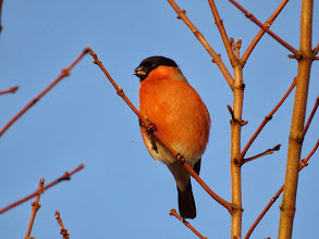 Photo: Priorslee Lake Persistence and a little luck finally nets a clear shot of a male Bullfinch. (Ed Wilson)