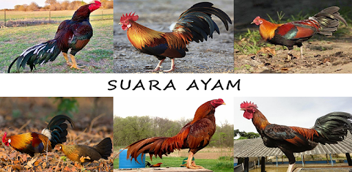 Suara Ayam Mp3 Offline for PC