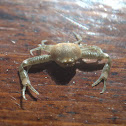 Leucosiid crab
