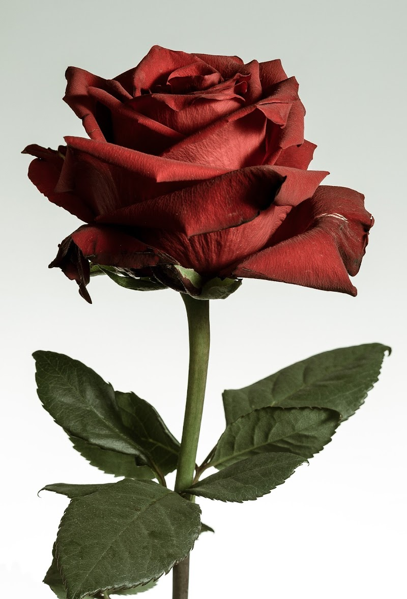 Rosa Rosae di Paolo Domesi