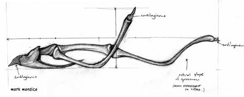 Photo: Chelus fimbriatus | hyoid