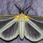 Hyalurga Tiger Moth / Mariposa-Tigre-Hyalurga