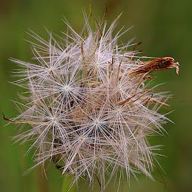 Seeding Hawkbit by Chrissie Barrow - Nature Up Close Other plants ( plant, wild, green, stars, hawkbit, seeds, yellow, bokeh, cream, design, seedhead )